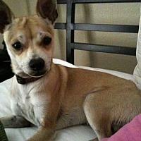 Adopt A Pet :: Chip - Phoenix, AZ