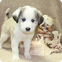 Adopt A Pet :: White Cloud - Salem, NH