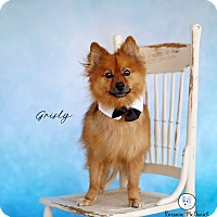 Pomeranian Dog for adoption in Lubbock, Texas - Grisly