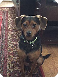 Miniature Pinscher/Chihuahua Mix Dog for adoption in Ashburn, Virginia - pablo