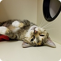 Domestic Shorthair Cat for adoption in Elyria, Ohio - Little Girl