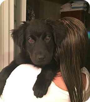Border Collie/Labrador Retriever Mix Puppy for adoption in Knoxville, Tennessee - Luna