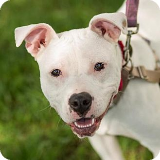 Pit Bull Terrier Dog for adoption in Methuen, Massachusetts - LOLA
