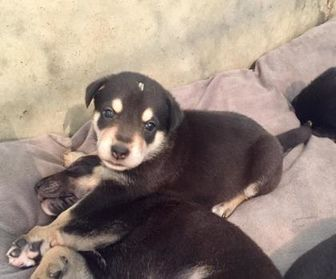 Shepherd (Unknown Type) Mix Dog for adoption in Brandon, South Dakota - Morgan