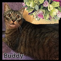 Adopt A Pet :: Buddy - Arlington/Ft Worth, TX