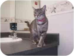 Domestic Shorthair Cat for adoption in Hamburg, New York - Tiffany