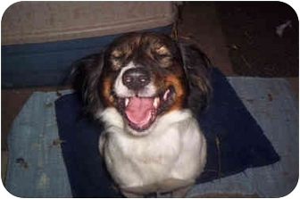 Beagle/Terrier (Unknown Type, Medium) Mix Dog for adoption in Owens Cross Rds, Alabama - Jake