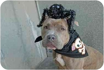 American Staffordshire Terrier Mix Dog for adoption in Oakland Gardens, New York - Keisha