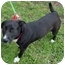 Photo 3 - Border Collie/Pit Bull Terrier Mix Dog for adoption in Houston, Texas - Shakira
