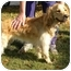 Photo 3 - Golden Retriever/Spaniel (Unknown Type) Mix Dog for adoption in FOSTER, Rhode Island - Tuggles& Puggles