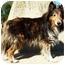 Photo 3 - Sheltie, Shetland Sheepdog Dog for adoption in North Judson, Indiana - Chance
