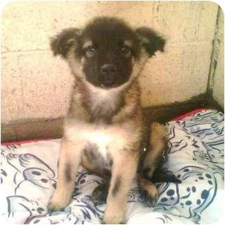 Shepherd (Unknown Type) Mix Puppy for adoption in Gilbert, Arizona - TANGA