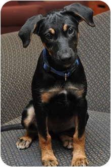German Shepherd Dog/Rottweiler Mix Puppy for adoption in Sparta, New Jersey - Ally