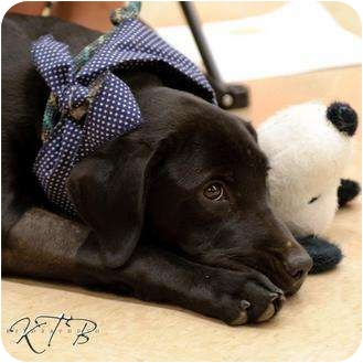 Labrador Retriever/Golden Retriever Mix Puppy for adoption in Knoxvillle, Tennessee - Violet