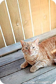 Domestic Shorthair Cat for adoption in Whitewater, Wisconsin - Javelin
