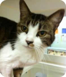 Domestic Shorthair Cat for adoption in Columbus, Georgia - Priss   5D1C
