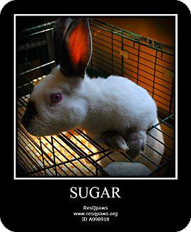 Californian Mix for adoption in Yuba City, California - *7/3/12 Sugar the Rabbit