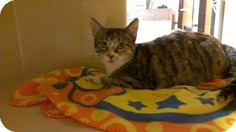Domestic Shorthair Kitten for adoption in Lexington, Kentucky - Greta