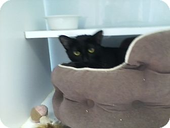Domestic Shorthair Cat for adoption in Columbia, South Carolina - Butterball