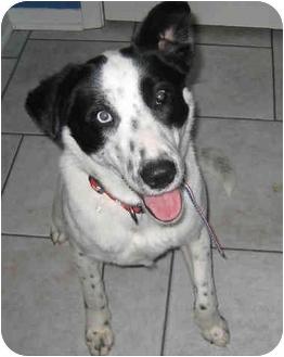 Australian Shepherd/Border Collie Mix Dog for adoption in Overland Park, Kansas - Kendra