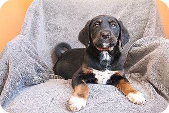 Greater Swiss Mountain Dog Mix Puppy for adoption in elizabethtown, New York - Mase