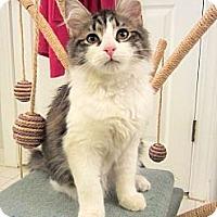 Adopt A Pet :: Ivan - Arlington, VA