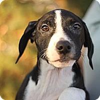 Adopt A Pet :: Gulliver - Reisterstown, MD