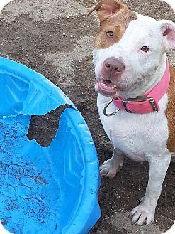 Pit Bull Terrier Mix Dog for adoption in Laingsburg, Michigan - Summer Rose
