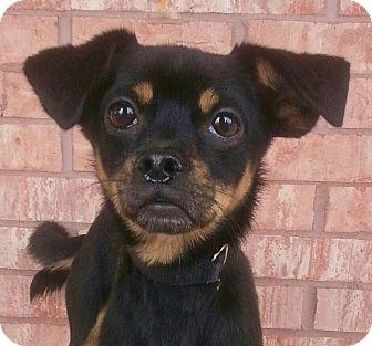 Chihuahua Mix Dog for adoption in Bridgeton, Missouri - Beau-Adoption pending