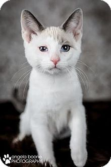 Domestic Shorthair Cat for adoption in Eagan, Minnesota - Nick