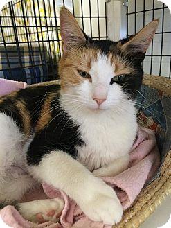 Domestic Shorthair Cat for adoption in Acushnet, Massachusetts - Anita & Pinta