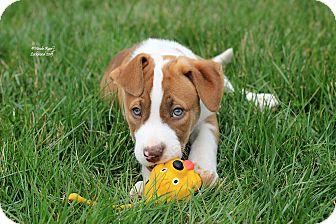 American Pit Bull Terrier/Husky Mix Puppy for adoption in Flushing, Michigan - Wyatt