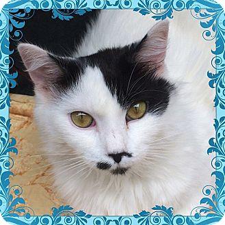 Polydactyl/Hemingway Cat for adoption in Brooklyn, New York - Phoebe