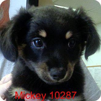 Pekingese/Corgi Mix Puppy for adoption in Manassas, Virginia - Mickey