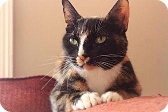 Calico Cat for adoption in Greensboro, Georgia - Spry