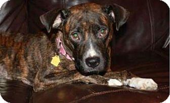 """Patterdale Terrier (Fell Terrier)/Boxer Mix Dog for adoption in fredericksburg, Virginia - """"Meg"""" Megera"""