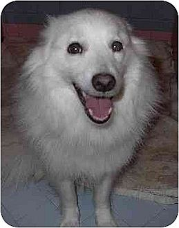 American Eskimo Dog/Spitz (Unknown Type, Medium) Mix Dog for adoption in Downey, California - Scout