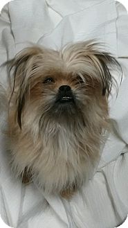 Yorkie, Yorkshire Terrier/Poodle (Miniature) Mix Dog for adoption in Mary Esther, Florida - Sweet Pea