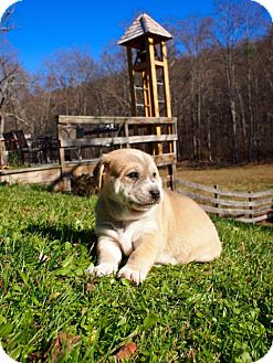 Shepherd (Unknown Type)/Husky Mix Puppy for adoption in Rockville, Maryland - Maggie