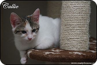 Calico Kitten for adoption in Rockwall, Texas - Callie