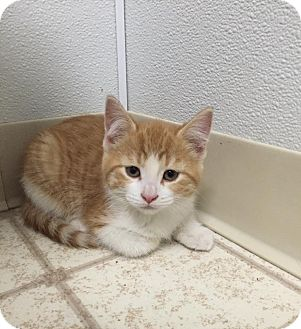 Domestic Shorthair Kitten for adoption in Bryan, Ohio - MiMi