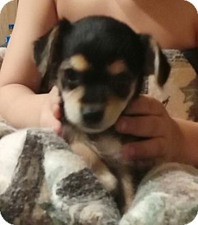 Yorkie, Yorkshire Terrier/Chihuahua Mix Puppy for adoption in springtown, Texas - Puff