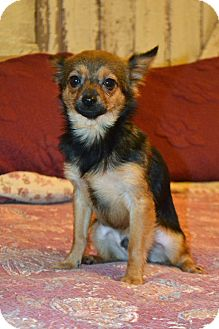 Pomeranian/Chihuahua Mix Puppy for adoption in Allentown, Pennsylvania - Stewart