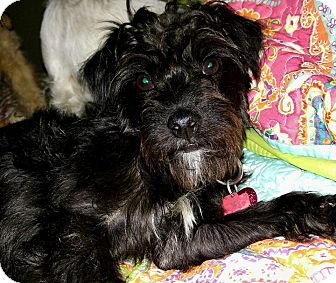 Schnauzer (Miniature)/Terrier (Unknown Type, Small) Mix Dog for adoption in Rocky Hill, Connecticut - Lucky