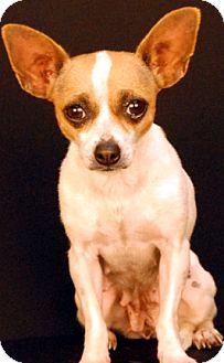 Chihuahua Dog for adoption in Newland, North Carolina - Chrissy
