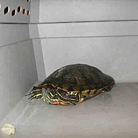 Turtle - Other for adoption in Burbank, California - A070036