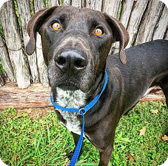 German Shorthaired Pointer/Great Dane Mix Dog for adoption in Fredericksburg, Texas - Marshall