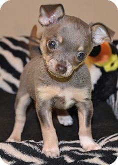 Chihuahua Mix Puppy for adoption in Allentown, Pennsylvania - Maui