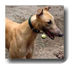 Greyhound Dog for adoption in Roanoke, Virginia - Jiggle