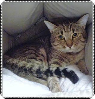 Domestic Shorthair Cat for adoption in Marietta, Georgia - KITT